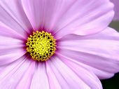 picture of extreme close-up  - Pink Cosmo Flower taken close - JPG
