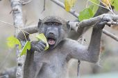 Chacma Baboon with Leaf