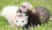 Ferret Rumble