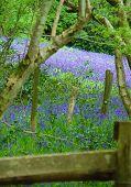 English Blueball Wood