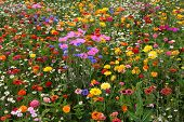 stock photo of veld  - a lot of wild flowers in an field - JPG