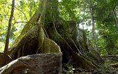 Amazon Jungle Tree