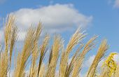 Ear Of Pampas Grass And Blue Sky