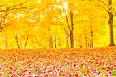 Colorful Autumn Leaves With Forest Blurred Background.