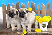 stock photo of pug  - pug puppies - JPG