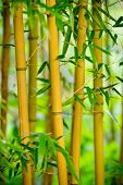 Fresh Bamboo sprouts forest background