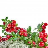 Cranberries in Northern Reindeer Lichen close up isolated on white background