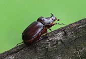 Unicorn Beetle