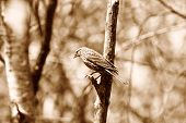 Female Red Winged Blackbird Perched on a Branch in Sepia