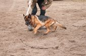 stock photo of alsatian  - training the alsatian dog running after the rope