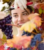 female vintner harvesting a bunch of grapes