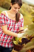 cheerful female vintner woman harvesting in a vineyard