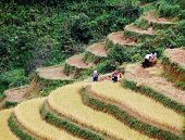 Hmong's rice was harvested