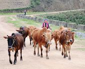 Hmong woman is pulling cows back to home in Ha Giang, Vietnam