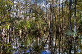 Cypress Of The Everglades Reflecting In A Swamp