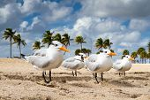 stock photo of tern  - Four terns lined up on the beach Fort Lauderdale Florida - JPG