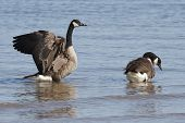 Pair Of Canada Geese - Lake Huron