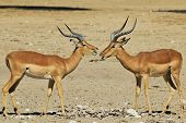 Impala - Wildlife Background from Africa - Talk of fun and chew of hunger