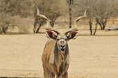 Kudu Bull - Wildlife Background from Africa - Funny Moment in Nature