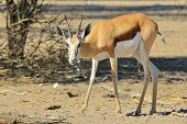 Springbok - Wildlife Background from Africa - Happiness is a full belly