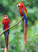 Mating Pair Of Scarlet Macaws, Costa Rica