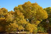 stock photo of cottonwood  - Cottonwood tree leaves changing bright yellow colors during an autumn windy day - JPG