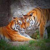 picture of mating animal  - Tiger - JPG