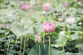 Pink lotus flowers on lake in China