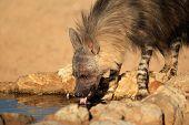 A brown hyena (Hyaena brunnea) drinking water, Kalahari desert, South Africa