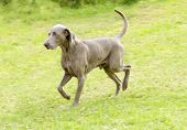 stock photo of pointed ears  - A young beautiful silver blue gray Weimaraner dog walking on the lawn with no docked tail - JPG