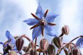 Borage Flowers (starflower)
