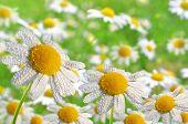 Dewy daisies