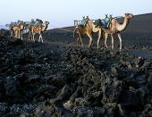 domedaries, Timanfaya National Park, Lanzarote, Canary Islands, Spain