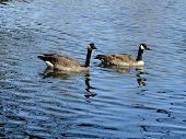 stock photo of boise  - A pair of Canadian geese swim in a pond located in Boise - JPG