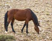 stock photo of open grazing area  - free roaming mustang mare in the Pryor Mountain wild horse range in Wyoming - JPG