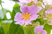 PinkQueen's crape myrtle flower