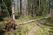Fallen Tree Is In Spring Forest