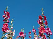 The Pink Hollyhock In The Garden