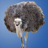 stock photo of ostrich plumage  - A Beautiful Female Ostrich Isolated on Blue - JPG