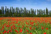 Poppy landscape