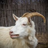 image of goat horns  - Adult white goat village with large horns - JPG