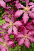 Closeup Pink Clematis In Garden