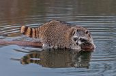 Raccoon (Procyon lotor) Looks Back From End Of Log