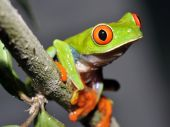 curious red eyed or gaudy green tree frog in tree, guatemala
