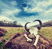 Vintage retro hipster style travel image of gaur (Indian bison) skull with horns and bones in Periyar wildlife sanctuary, Kumily, Kerala, India