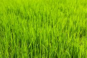 Rice paddy field close up. Tamil Nadu, India