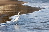 Little Egret (Egretta garzetta) - small white heron on beach, India