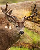 Buck With Drop Tine