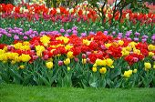 Colorful Mix Of Beautiful Spring Tulips