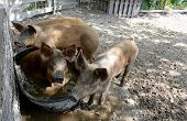 Pigs Playing In Water In Pig Pen